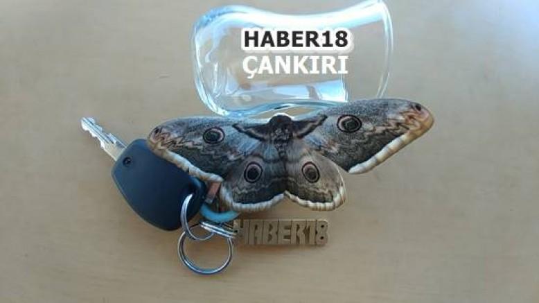 Çankırı - İlimizde Yaşayan Kelebek Görseli - Genel Haber haber18 haberleri