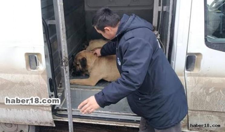 Çankırı - Orta İlçesinde Sokak Köpekleri Toplanıyor - Orta Çankırı haber18