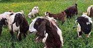 Yapraklılı Keçi Yetiştiricisinden, Keçi Sütünün Faydaları - Yapraklı - Çankırı - haber18