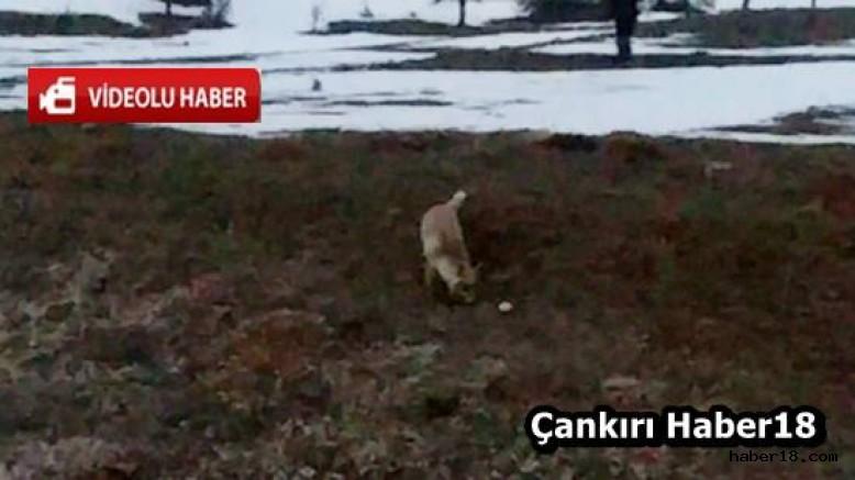 Çankırı - Yaban Hayvanları Adeta Evcilleşmiş - Genel Haberler haber18 haberleri